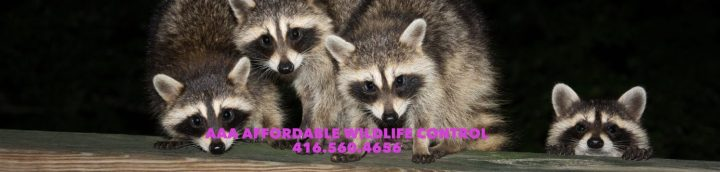 Affordable Wildlife Control Toronto, Affordable Raccoon Removal, Affordable Squirrel Removal