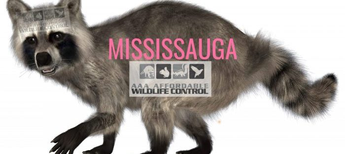 AAA Affordable Wildlife Control Mississauga, Affordable Wildlife Removal, Affordable Raccoon Removal Mississauga, Affordable Skunk Removal Mississauga