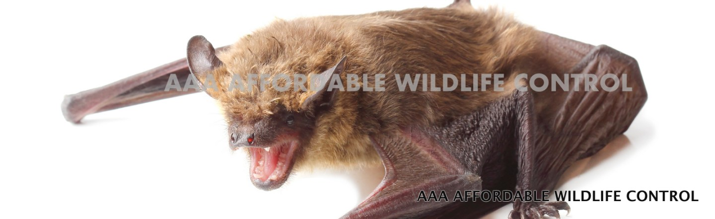 Bat Removal Toronto - Affordable Bat Removal Services