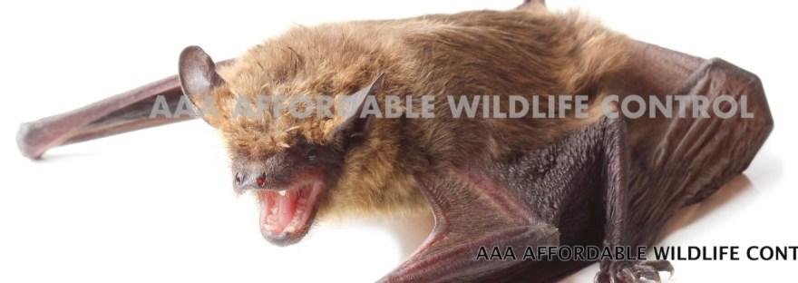 Bat Removal Toronto - Affordable Bat Removal Services