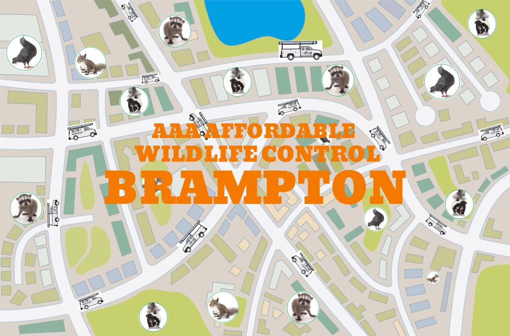 Wildlife Removal in Brampton, Squirrel Removal & Raccoon Removal Brampton