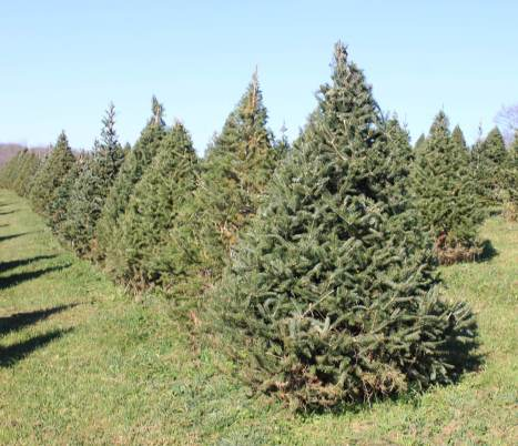 a picture of a row of Canaan Fir trees