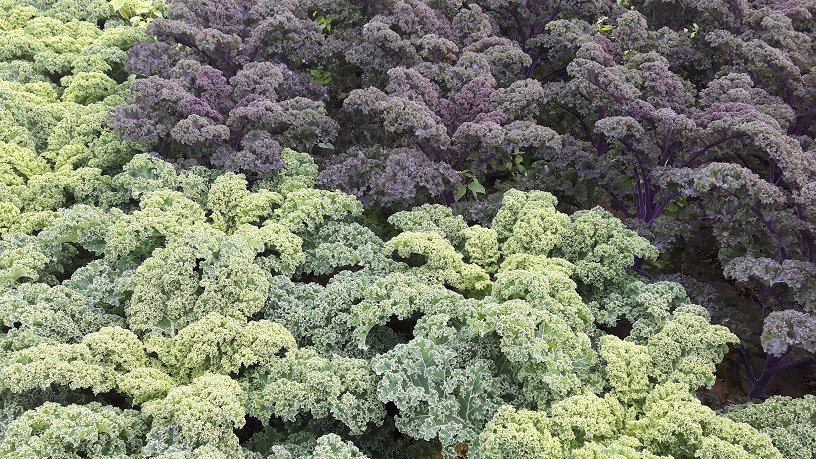 Boerenkool of colour