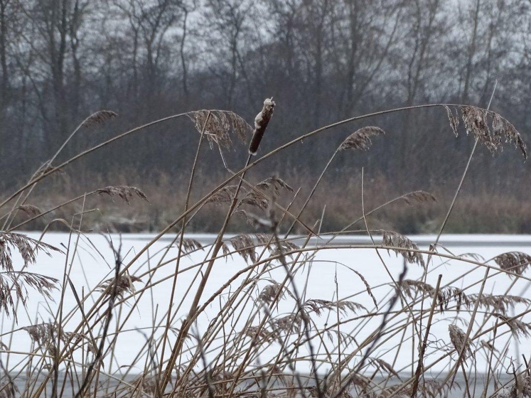 Sigaarriet en bevroren meertje