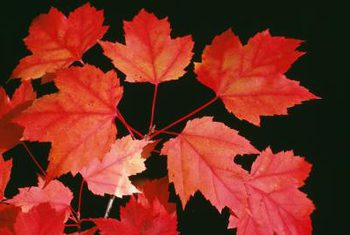 Red Maple Poisoning Aaep