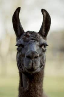 Could Llamas Be the Key to Treatment for COVID-19?