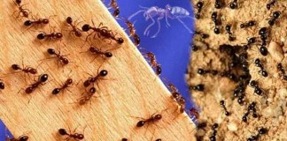 Natural Remedies To Avoid Ants