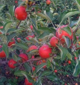 Akane apple tree in late August