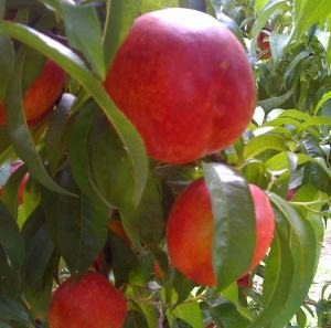 Branch of juicy Red Gold nectarines