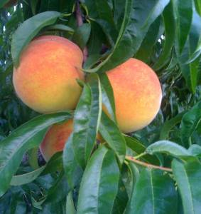 Contender peaches still on the tree
