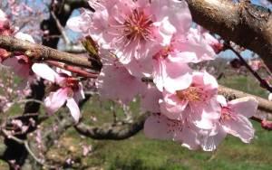 Spring nectarine blossoms