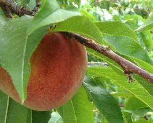 Garnet Beauty semi-freestone peach
