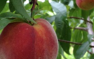 Ripe Cresthaven Peach in the orchard.
