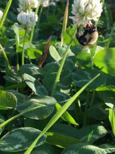 Bumblebee in clover patch