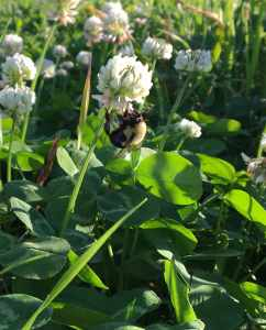 Bumble bee in clover patch.