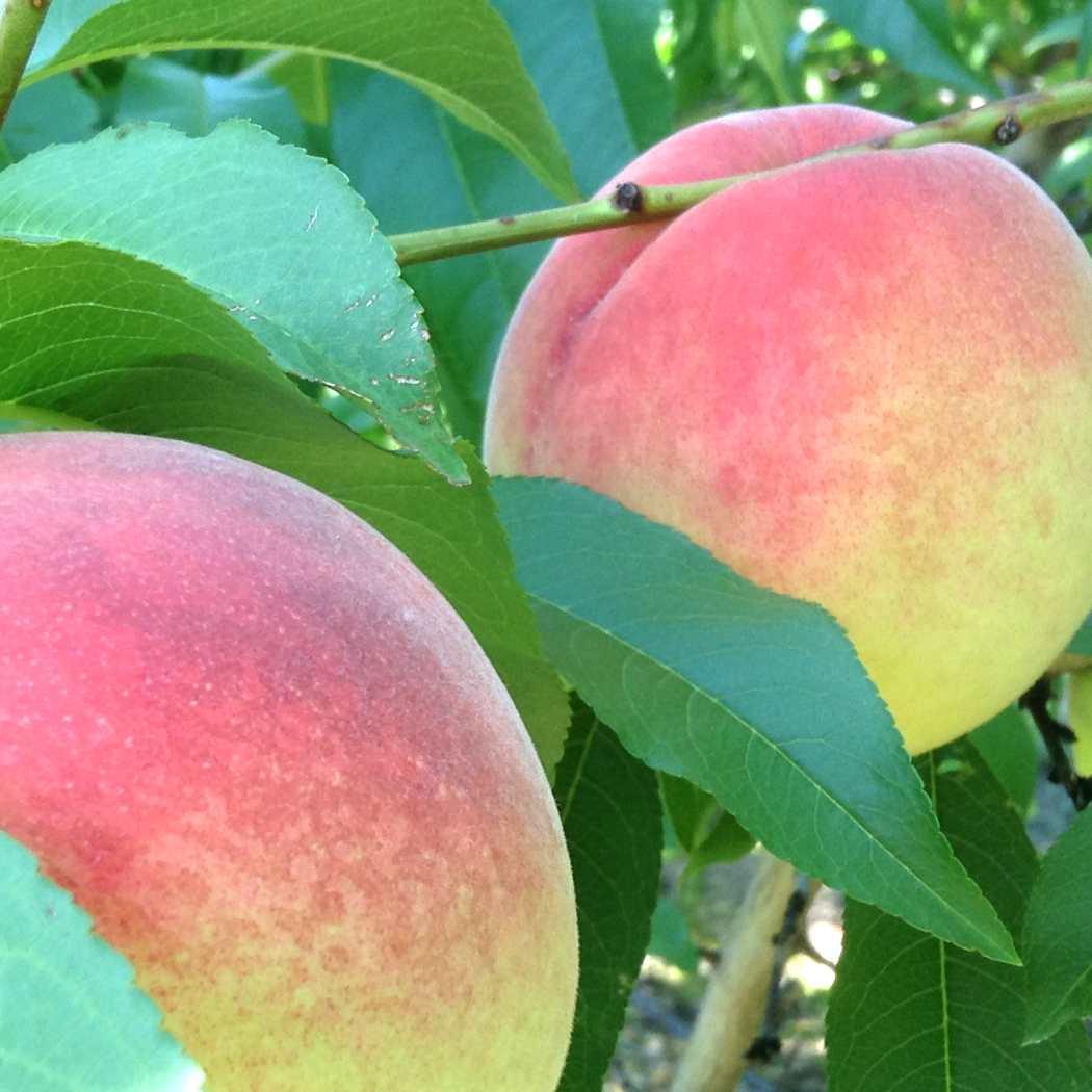 Nectar white peaches.