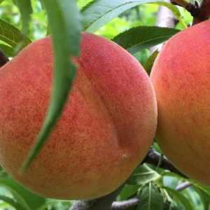 Yellow tree-ripened peaches