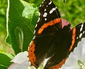 Butterfly and Lacewing on an apple blossom