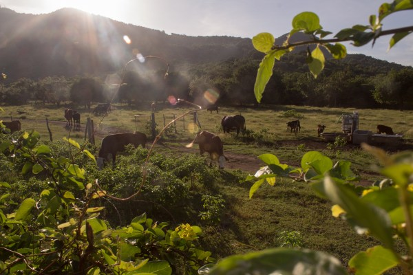 Mooing neighbours
