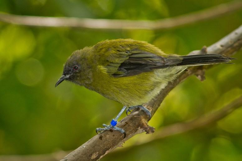 bellbird-5