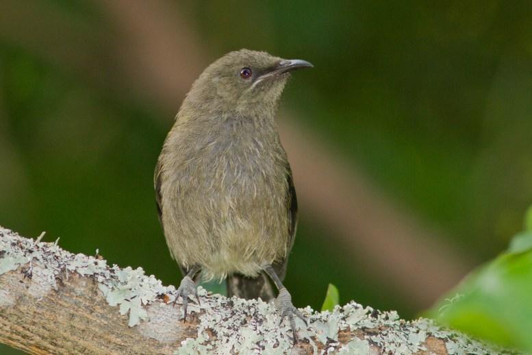 bellbird-6