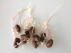 overspirede kartofler