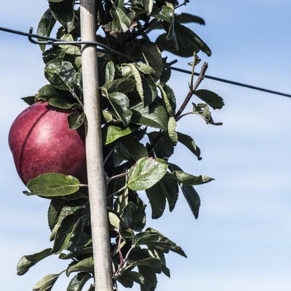 Æblemanden på Samsø, Michael Linnebjerg.