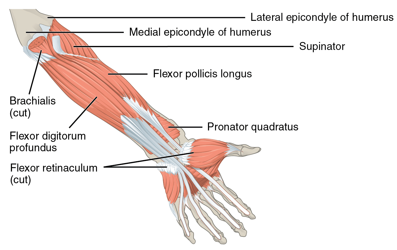 Retinaculum Suomeksi