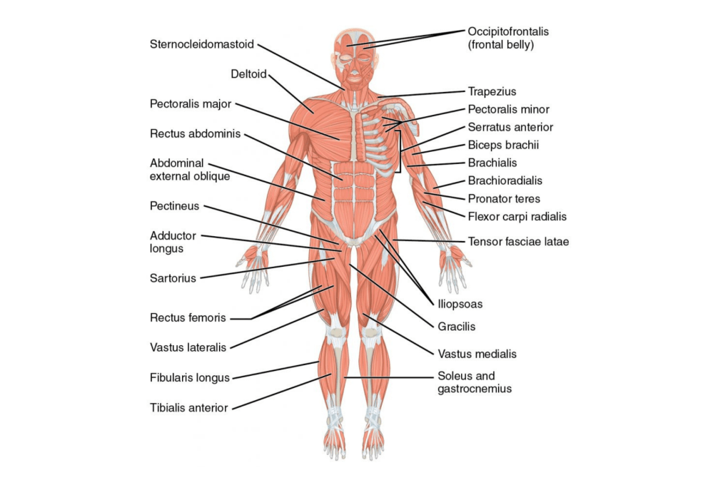Lihaskartta