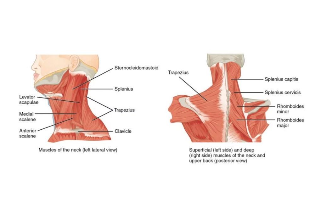 Kaulan lihakset