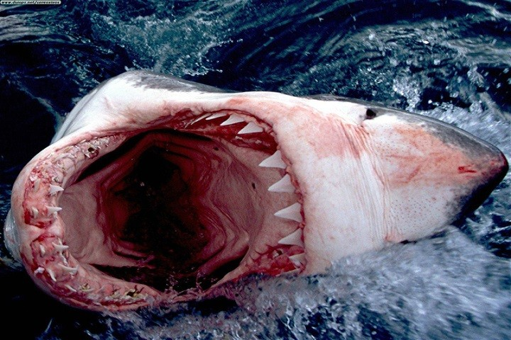 great-white-shark-720x480