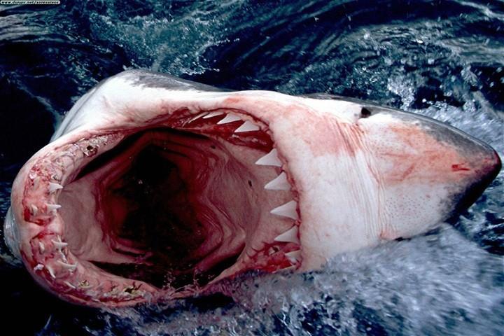 great-white-shark-720x480