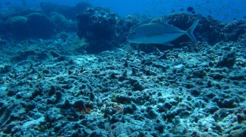 Yellowfin Snapper