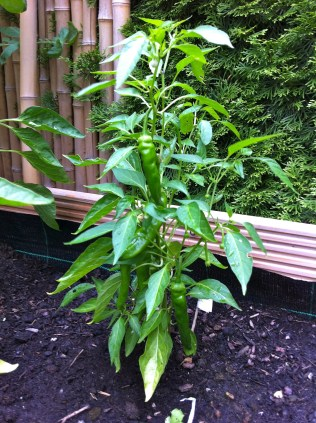 The 'Spitzpaprika' is coming along fine; this one is native to Hungary. Great for grilling.