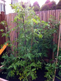 The wilderness that is the tomato section. I totally planned the raised bed wrong; they're blocking the sun from my poor capsicum plants. Oh well, next year.