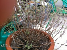 Finally gave the Spanish lavender (Lavendula stoechas) a trim; wouldn't want it going anymore 'woody' on me than it is.