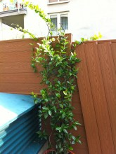 I need to put in a trellis for the Star Jasmine; can't have the vines just flopping around like that.