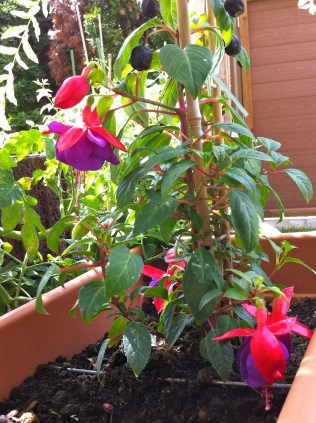 The first of my collection was actually a house-warming gift from a friend. The Fuchsia requires shading from the hot sun but provides the most beautiful deep purple flowers surrounded by bright pink sepals. They're supposed to be very attractive to butterflies.
