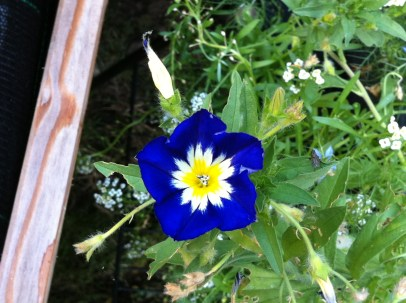 I got really excited to see that my mix also included the Morning Glory as I was always fascinated with it as a child growing up singing the hymn in church. To be exact, this version is called the Royal Ensign Bush Morning Glory (Convolvulus tricolor). Finding out that it was a cousin of the sweet potato plant only made me love it more!