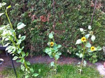 Talking about flowers, the sunflowers are almost as tall as me - well the youngest is (on the left).