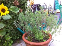 Talking about woody herbs, the Spanish lavender has grown back quite nicely from it's summer trim. Flowers for fall would be awesome!
