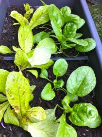 I've finally gotten the spinach to viably produce! Here they are soaking up all that rain. These and the Romaine lettuce were planted beginning of August and I've already gotten my first harvest from them this week.