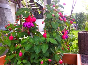 As is the Fuchsia, seems as though it was only waiting on these cooler, wetter, overcast days to bloom.