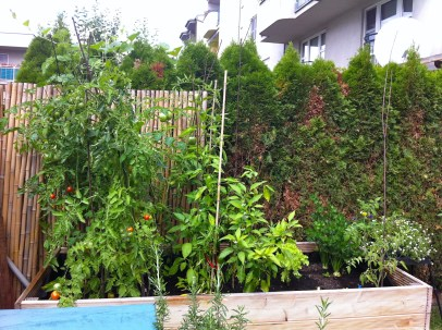 Current view of the raised bed. Celery is happy, tomatoes not so much, and the sweet peppers and chilies seem to be on their last leg.