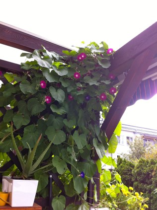 My neighbor's Morning Glories are vining into the awning; might be time to trim them a bit.