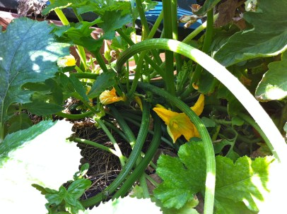 Never again will I plant a zucchini in my bed; it's getting it's own pot next year!