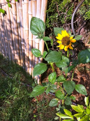 The tiniest and most determined sunflowers ever!