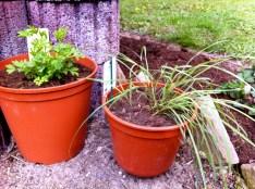 New additions - bleeding heart and lemongrass