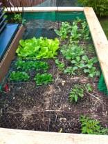 New additions - lettuce seedlings.