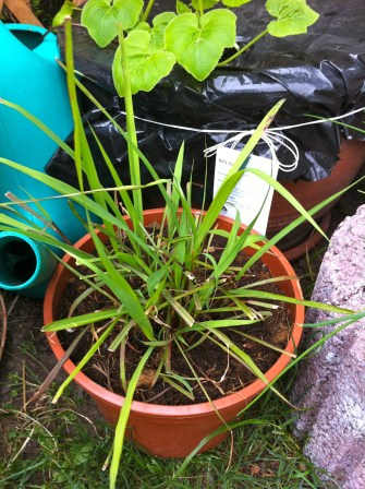 After a trim, the lemongrass came back with a vengeance.